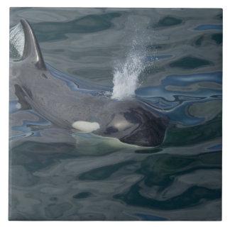 El soplar de la orca azulejo cuadrado grande