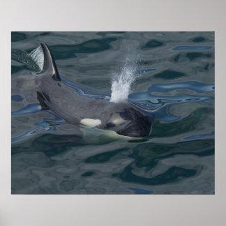 El soplar de la orca impresiones