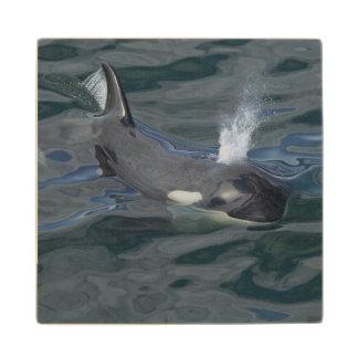 El soplar de la orca posavasos de madera