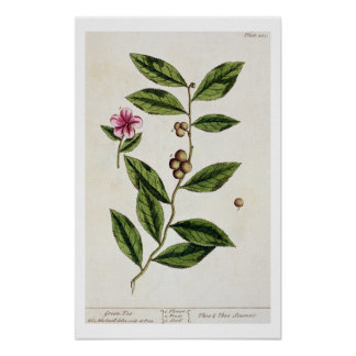 """El té verde, platea 351 """"de un herbario curioso"""",  impresiones"""