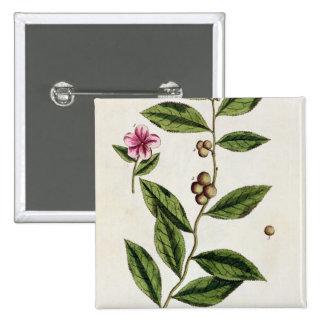 """El té verde, platea 351 """"de un herbario curioso"""",  pin"""