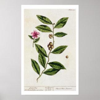 """El té verde, platea 351 """"de un herbario curioso"""",  póster"""
