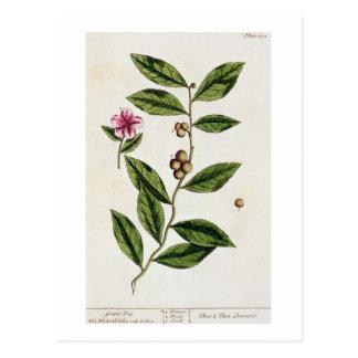 """El té verde, platea 351 """"de un herbario curioso"""", tarjetas postales"""