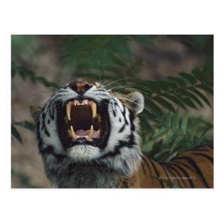 El tigre siberiano (Panthera el Tigris) descubre Tarjeta Postal