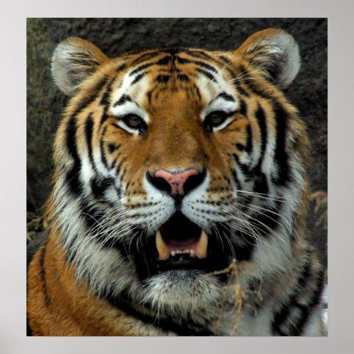 ¡El tigre - venido aquí y dice eso! Impresiones