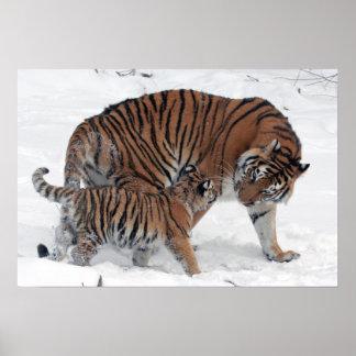 El tigre y el cachorro en foto hermosa de la nieve impresiones