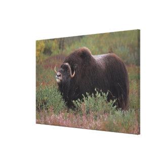 el toro del muskox sospecha el aire en la tundra d impresión en lona estirada