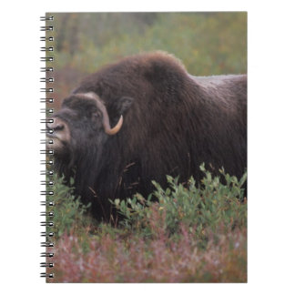 el toro del muskox sospecha el aire en la tundra d libro de apuntes con espiral
