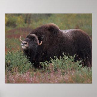 el toro del muskox sospecha el aire en la tundra d póster