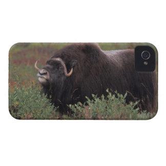 el toro del muskox sospecha el aire en la tundra iPhone 4 Case-Mate fundas