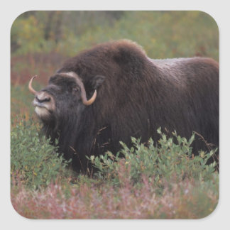 el toro del muskox sospecha el aire en la tundra pegatina cuadrada
