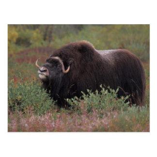 el toro del muskox sospecha el aire en la tundra postal