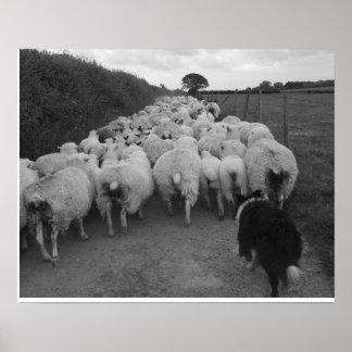 El traer en las ovejas póster