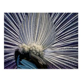 El trasero asombroso del pavo real del baile postal