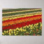 El tulipán coloca, cerca de Tapanui, Otago del oes Posters