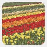 El tulipán coloca, cerca de Tapanui, Otago del oes Calcomania Cuadradas Personalizadas