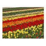 El tulipán coloca, cerca de Tapanui, Otago del oes Tarjeta Postal