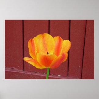 El tulipán poster