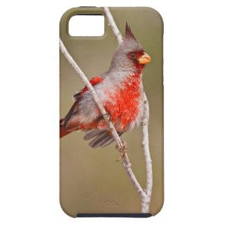 El varón del Pyrrhuloxia (sinuatus de Cardinalis) Funda Para iPhone SE/5/5s