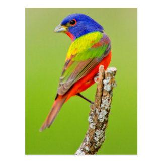 El varón pintado del empavesado (ciris del tarjeta postal