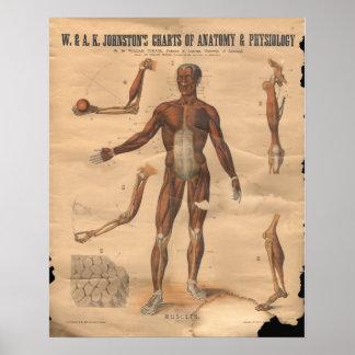 El vintage Muscles la carta 1906 de la anatomía Póster