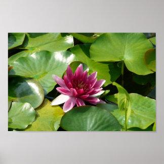 El Waterlily rosado floreciente Póster