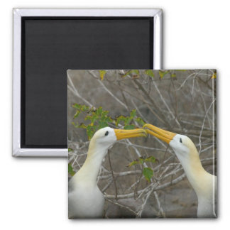 Elaborate courtship dance of Waved Albatros, Magnet