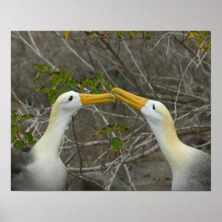 Elaborate courtship dance of Waved Albatros, Poster