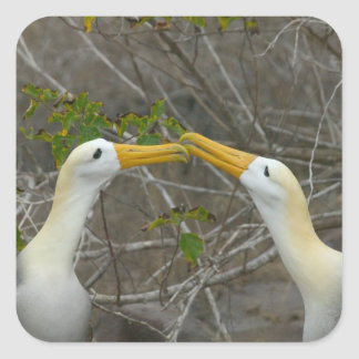 Elaborate courtship dance of Waved Albatros, Square Sticker