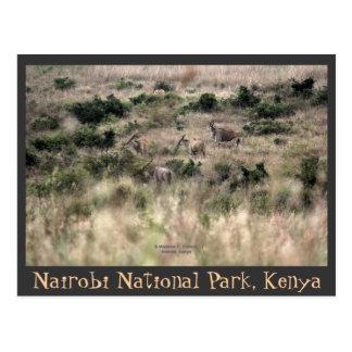 Eland Antelopes at Nairobi National Park, Kenya Postcard