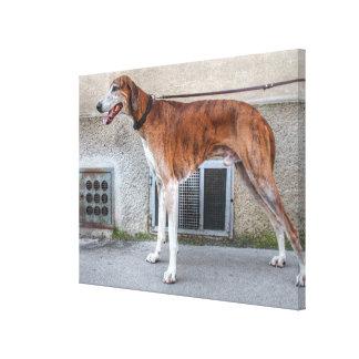 Elder Brindle Greyhound Canvas Print