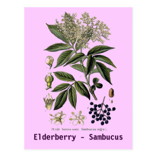 Elderberry Sambucus postcard