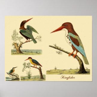 Eleazar Albin's Kingfishers Poster