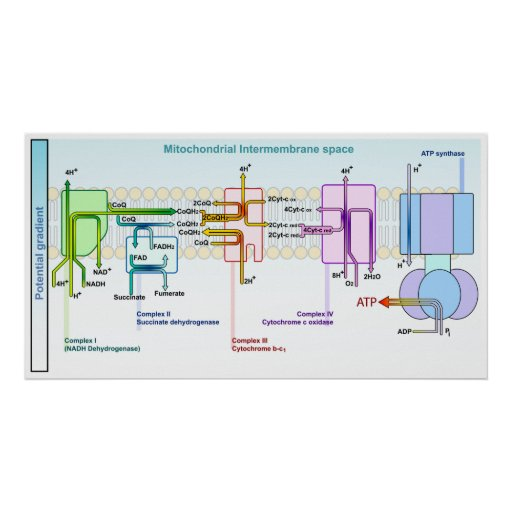 Electron Chain Mitonchondrial Intermembrane Space PosterIntermembrane Space