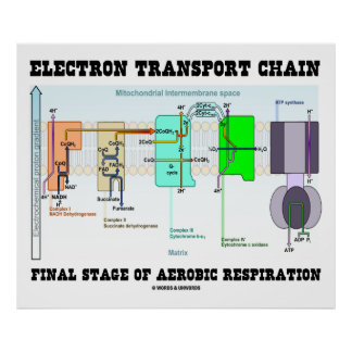 Electron Transport Chain Final Stage Of Aerobic Poster