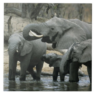 Elefante africano, (africana del Loxodonta), bebie Azulejo Cuadrado Grande