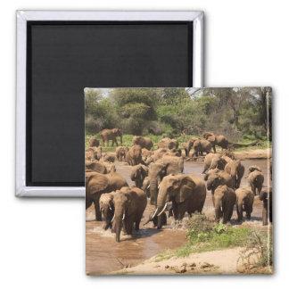 Elefante africano, africana del Loxodonta, cruzand Imán Cuadrado