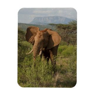 Elefante africano, africana del Loxodonta, en Samb Iman De Vinilo