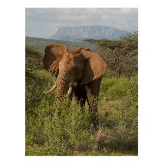 Elefante africano, africana del Loxodonta, en Samb Postal