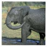 Elefante africano, (africana del Loxodonta), fango Azulejo Cuadrado Grande