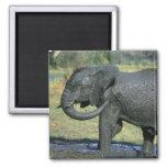 Elefante africano, (africana del Loxodonta), fango Imán De Frigorifico
