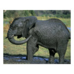 Elefante africano, (africana del Loxodonta), fango Posters