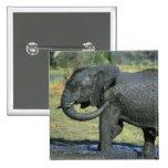 Elefante africano, (africana del Loxodonta), fango Pin Cuadrado
