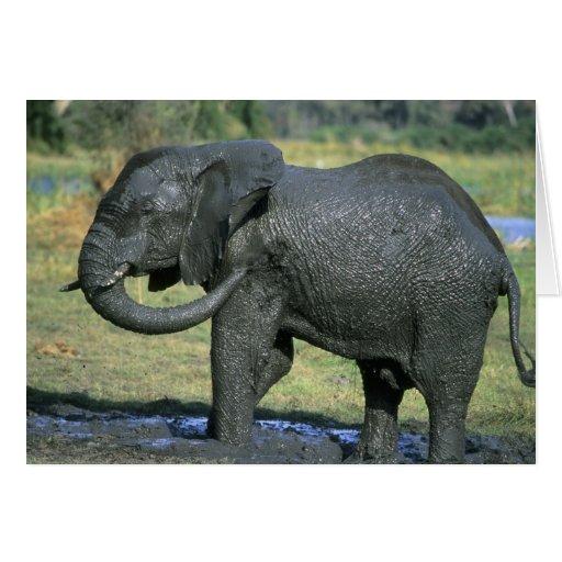 Elefante africano, (africana del Loxodonta), fango Tarjeta De Felicitación