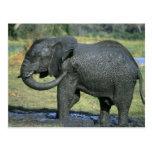 Elefante africano, (africana del Loxodonta), fango Tarjeta Postal