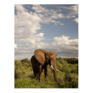 Elefante africano, africana del Loxodonta, hacia f Postales