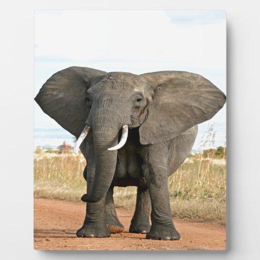 Elefante africano de Bush que marcha a la meta del Placas Para Mostrar