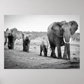 Elefante africano femenino y tres becerros, Kenia Póster