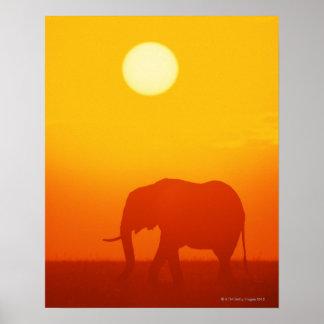 Elefante africano que camina en la puesta del sol, impresiones