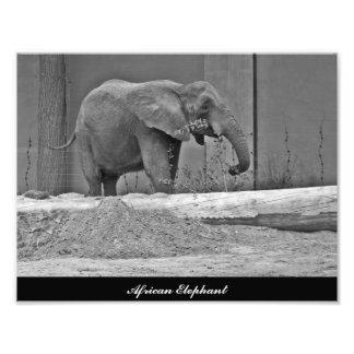 Elefante africano que come la foto cojinete